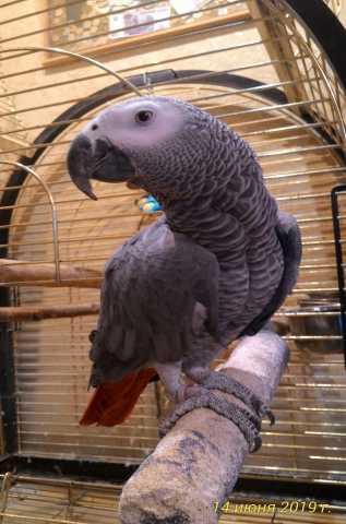 Продам Попугай Жако говорящий