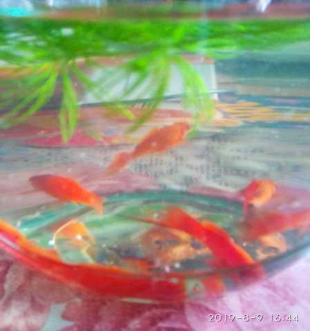 Продам аквариумные рыбки- меченосцы