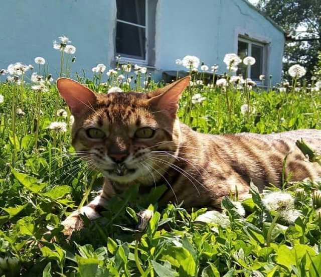 Продам Шикарный бенгальский кот