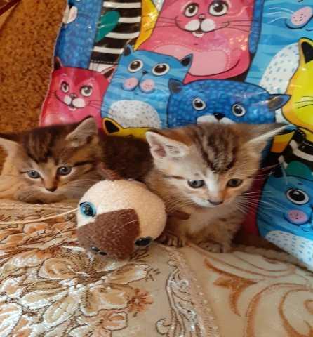 Отдам даром котята от британской кошки