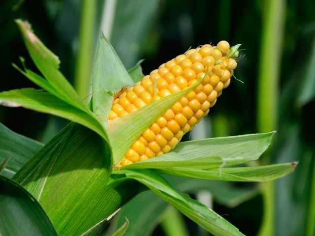 Продам Продаю Кукурузу