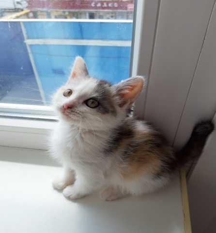 Отдам даром трёхцветный котёнок