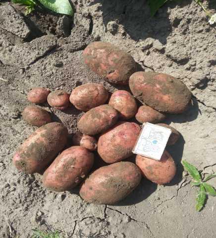 Продам Картофель сорт Розара калибр 5+ крупный