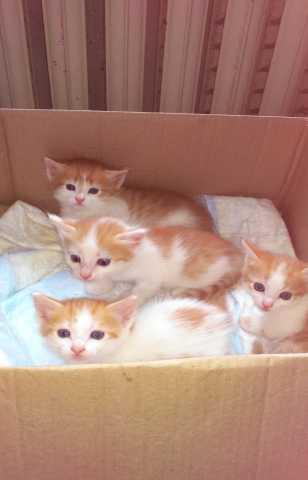 Отдам даром: Рыжие котята