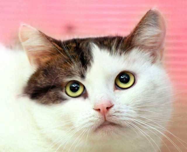 Отдам даром Самая дружелюбная кошка на свете - Роксо