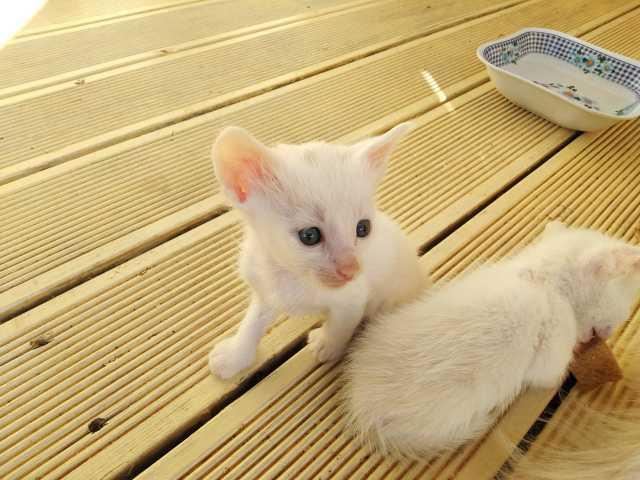 Продам: кошки