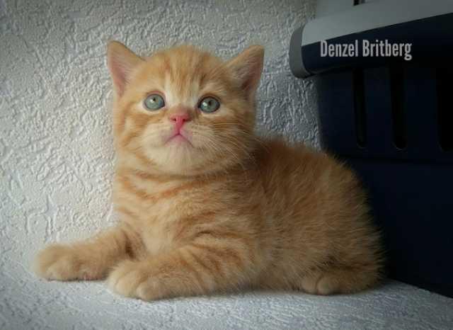 Продам Британские котята котики