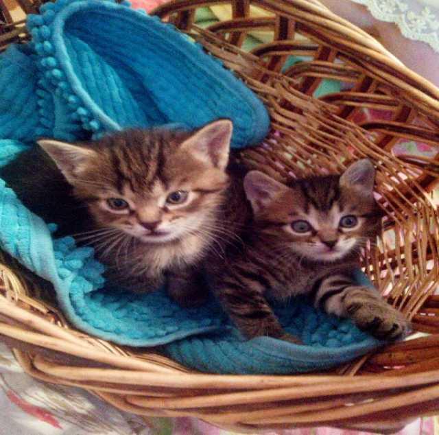 Отдам даром: Шотландский прямоухий котёнок мальчик