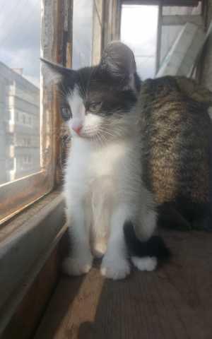 Отдам даром: Котёнок окраса - Женщина кошка