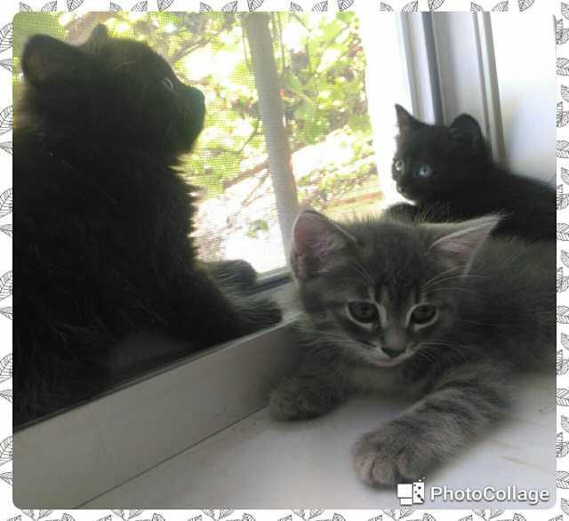 Отдам даром: Котята сибирской породы