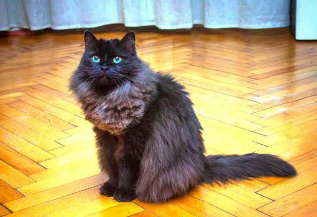 Отдам даром Бася-королевишна. Роскошная кошка в дар