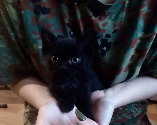 Отдам даром Британский котёнок