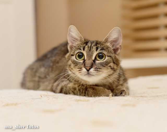 Отдам даром Кошка Клепа ищет дом