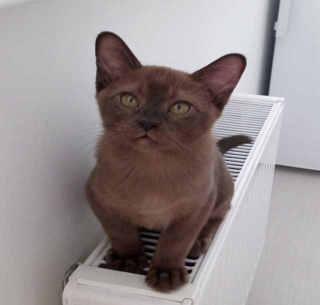 Продам Бурманские котята Сургут - бурма