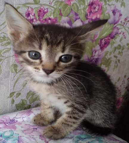 Продам Котёнок породы Тойгер
