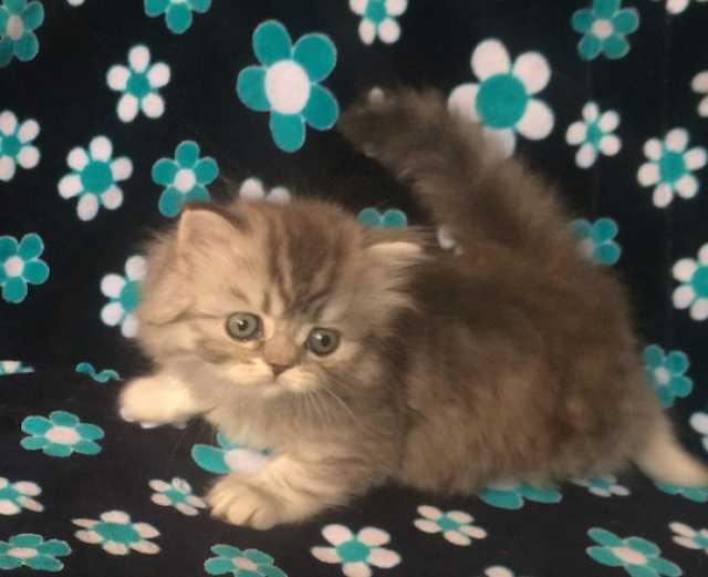 Продам Хайленд Страйт котенок-девочка