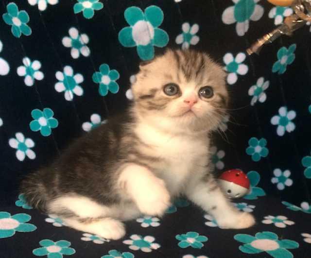 Продам Шотландский Вислоухий котенок - мальчик