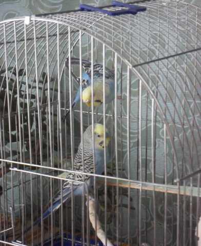 Продам Волнистые попугайчики с клеткой