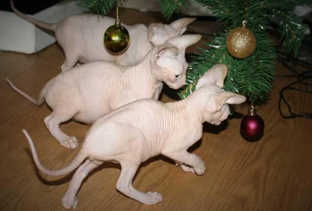 Продам Красивые сфинкс котята