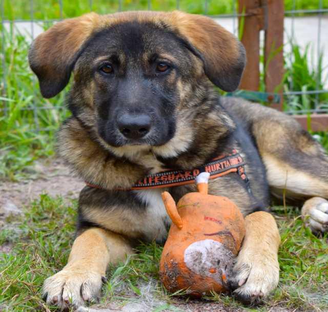 Отдам даром Роскошный крупный щенок