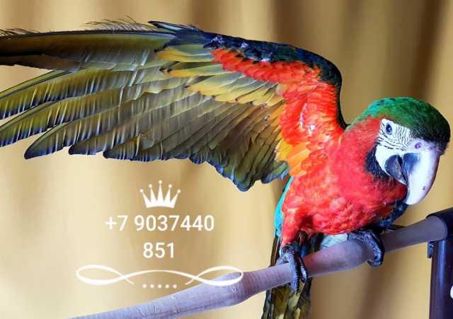 Продам Арлекин ара ручные птенцы из питомников