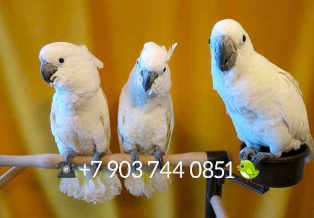 Продам Белохохлый какаду - ручные птенцы