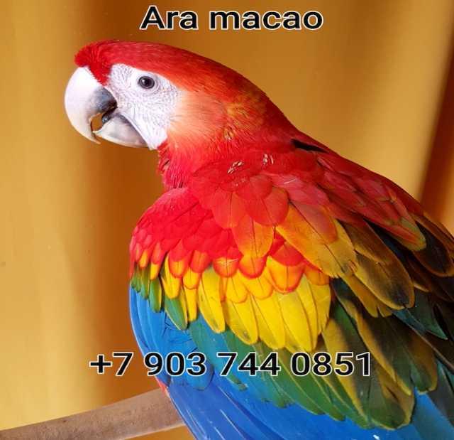 Продам Красный ара ручные птенцы из питомников