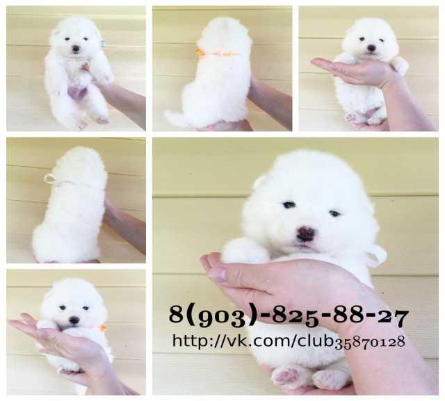 Продам Яркие белоснежные собачки