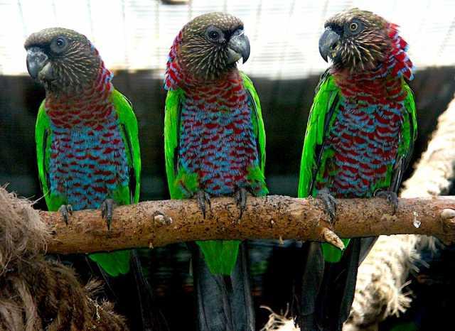 Продам Веерный попугай - ручные птенцы