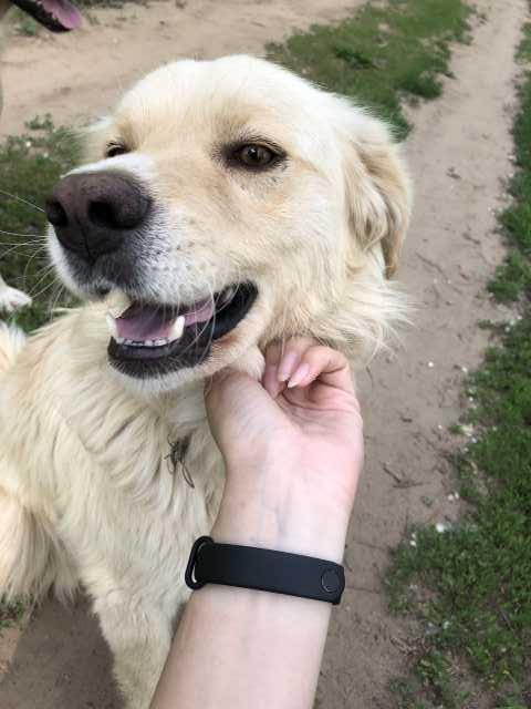 Отдам даром Собака помесь лабрадора в добрые руки
