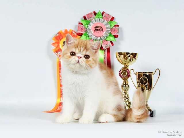 Продам: Кошка