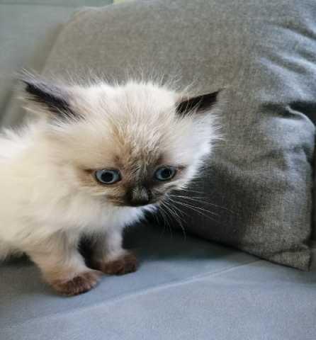 Отдам даром: Маленький сиамский котёнок