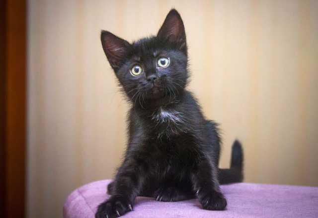 Отдам даром Ласковый малыш Черныш, котенок 2,5 мес