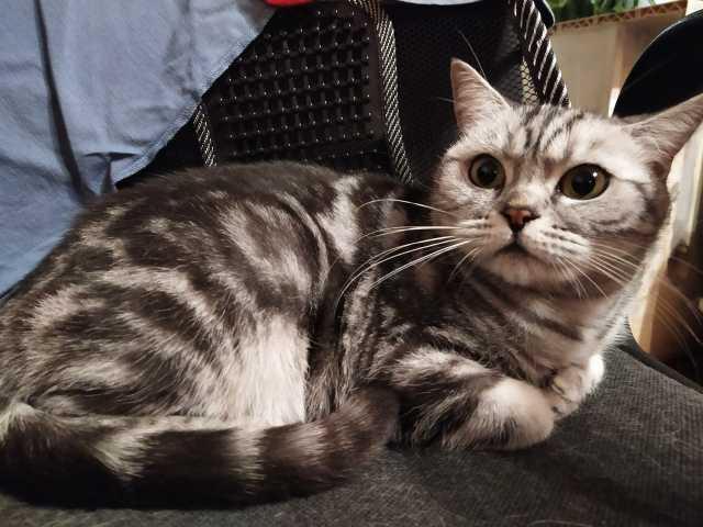 Отдам даром Мраморная британская кошка