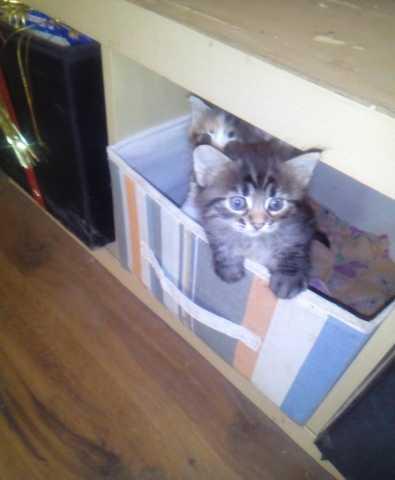 Отдам даром: Котята в хорошие любящие руки