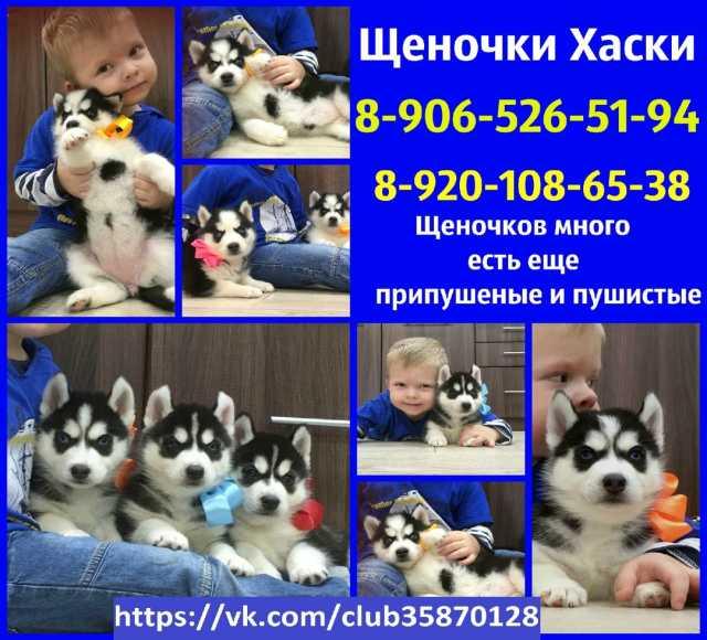 Продам: Черно-белые щеночки хаски с родословной