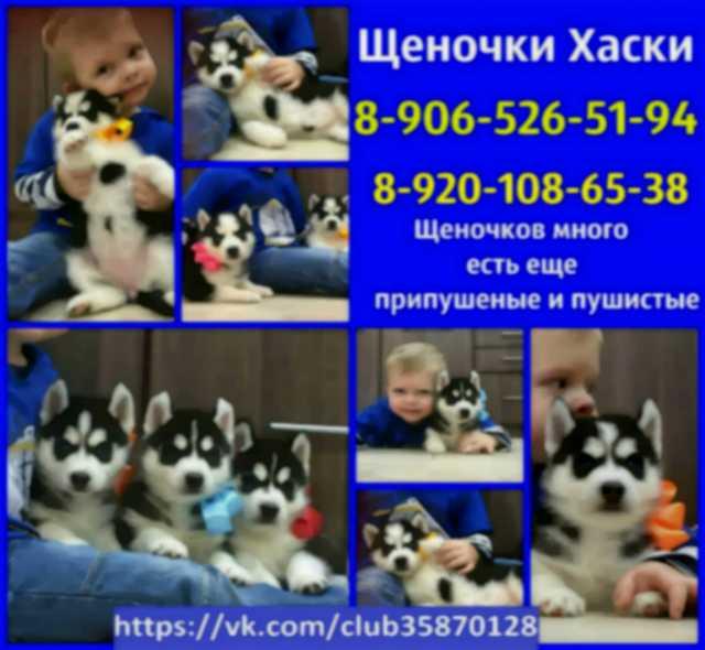 Продам Сибирские хасята