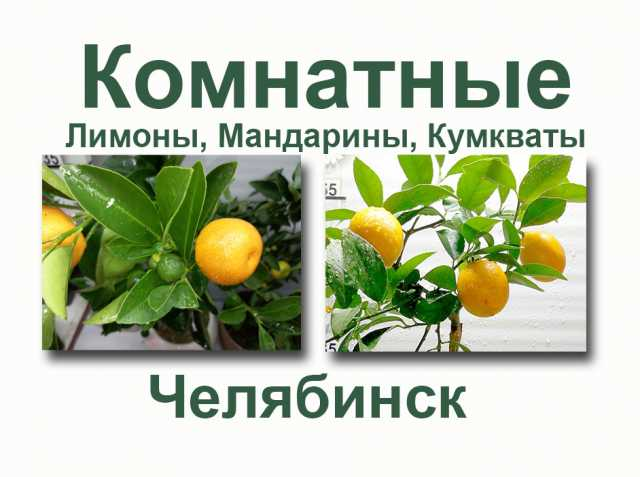 Продам: Лимон Мандарин Кумкват