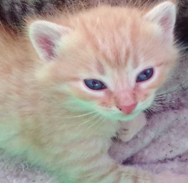 Продам Котёнок мейн-куна