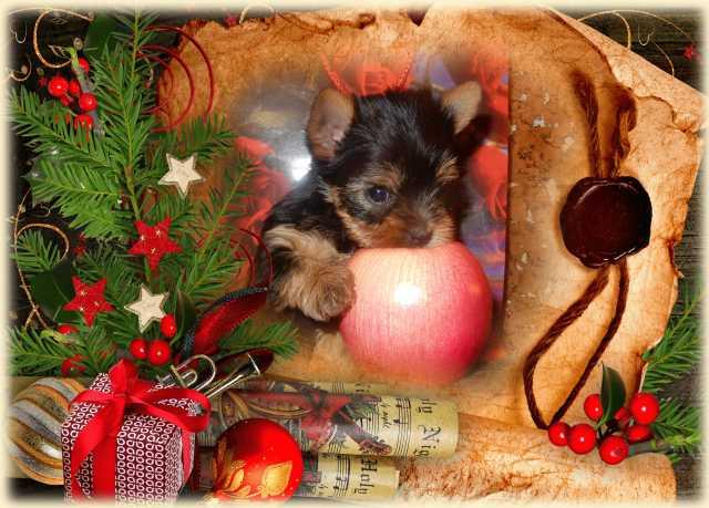 Продам Йоркширского терьера щенки с доставкой