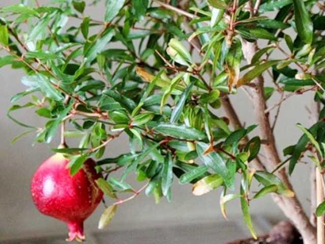 Продам Гранат - комнатные плодовые