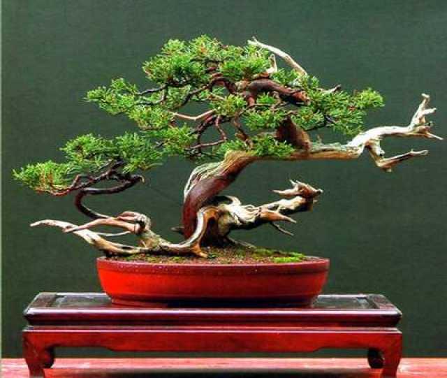 Продам Бонсай - карликовые деревья в миниатюре