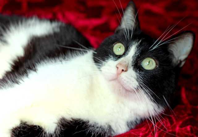 Продам Молодой кот Принц - в добрые руки