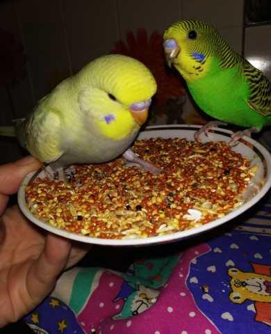 Продам Волнистые попугаи Чехи-Птенцы
