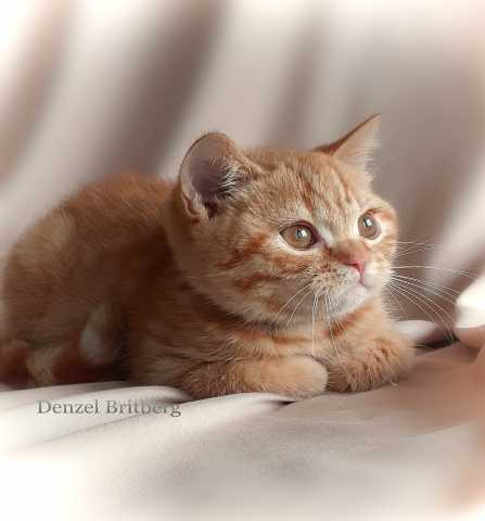 Продам Британский котёнок красного окраса