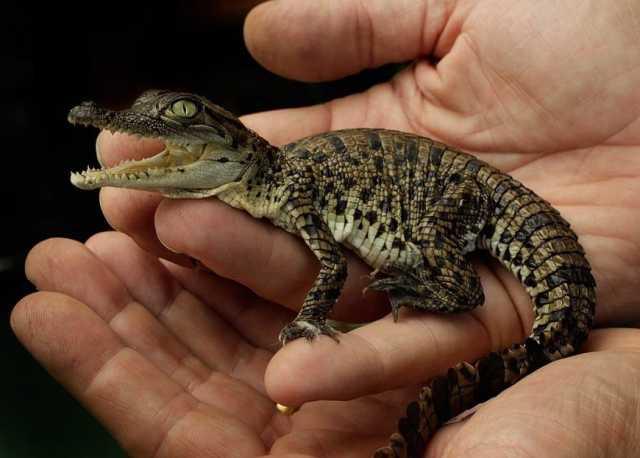 Продам Крокодиловый кайман