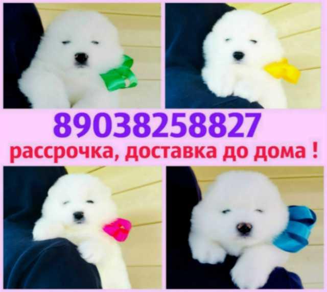 Продам Самоеда белоснежные щенки
