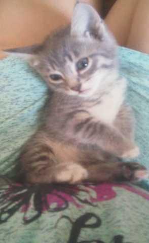 Отдам даром Подарю сибирских котят котенок котята