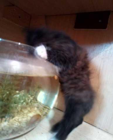 Продам ми-ми-мишный котенок