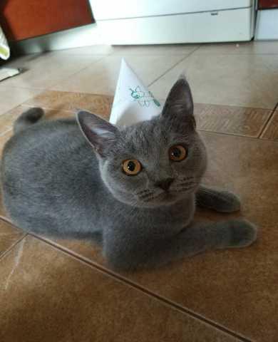 Продам СРОЧНО Британская короткошерстная кошка